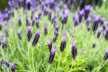 Purple Monet Dentate Lavender during its blossom in garden
