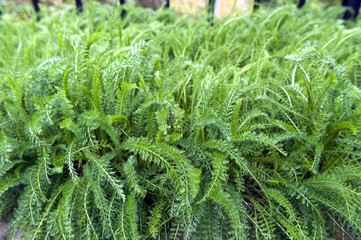 Lush leaves of Common Yarrow (Achillea millefolium) grow in herbal garden