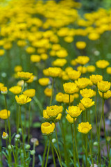 Yellow Buttercup flowers (Ranunculus) growing in the garden