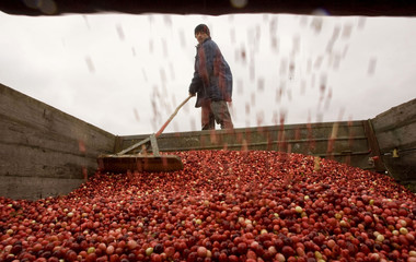 A worker harvests cranberries at a state farm in the village of Selishche