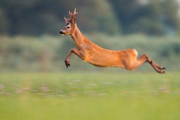 Poster Ree Sprinting roe deer (capreolus capreolus) buck in natural summer meadow with flowers. Dynamic action photo of wild animal running. Roebuck with big antlers jumping. Energetic vital male roe rushing.