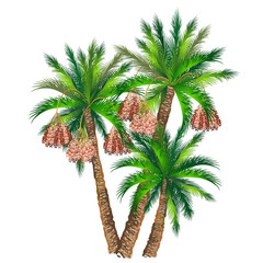 Date palm (Phoenix dactylifera). Hand drawn vector illustration of palm trees with fruits on white background.