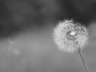 Old dandelion with flying seeds, retro black and white photo.