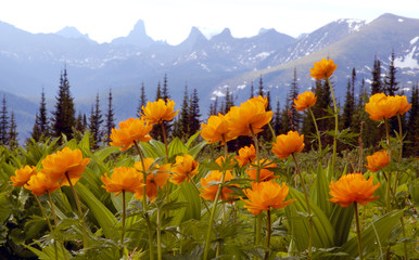 "Siberian flowers named in Siberia ""Zharki"" are seen with mountains in the background in Western Sayan mountains in southern Siberia about 600 km south of Krasnoyarsk"