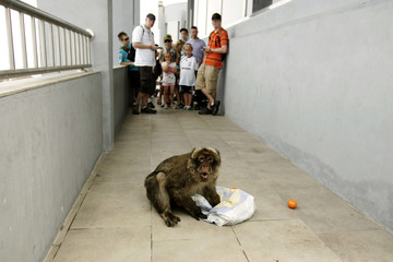 People look at a Gibraltar monkey in the British colony of Gibraltar