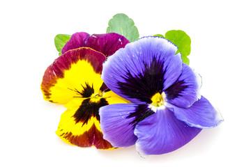Viooltje Violet bloem geïsoleerd, uitgesneden op witte achtergrond, uitgesneden