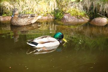 para pięknych kaczek - krzyżówki na wodzie