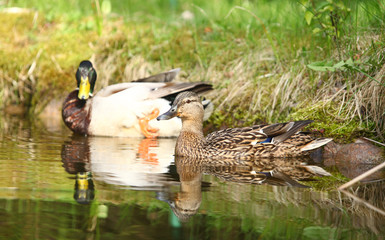 para kaczek krzyżówek