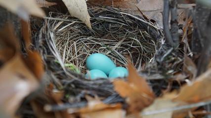 Robin bird eggs