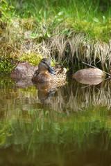 kaczka krzyżówka w bajkowej scenerii