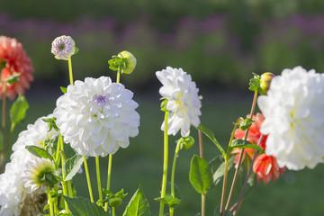 Flowering dahlia flowers
