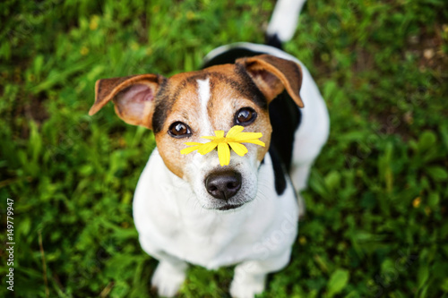 jack russell terrier dog on the green background with yellow flower looking at camera no hay. Black Bedroom Furniture Sets. Home Design Ideas