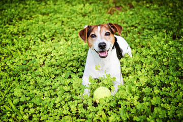 Smiling dog jack russell terrier lying in the grass with tennis ball. Dog enjoys playing ball concept of active plays with the dog