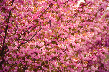 Fresh pink flowers of sakura growing in the garden, natural spring outdoor background