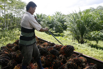 A worker at a palm oil plantation handles newly harvested fruits, in Agusan del Sur province