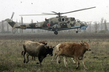 Cows run away as a military helicopter lands during the shooting of a film at Vaziani military base outside Tbilisi