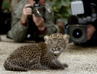 Media takes pictures of six-week-old Asian leopard 'Namlea' during a presentation in Berlin.