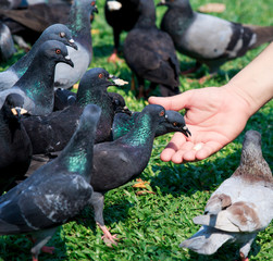 Feed pigeon