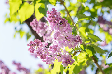 Spring background art with purple lilac branch. Sunny day. Blue sky. Spring flowers. Beautiful orchard. Abstract blurred background. Shallow depth of field. Copy space.