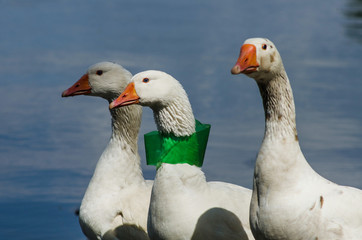 A piece of plastic garbage stuck on the goose's neck