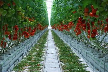 Tomaten Gewächshaus Tomatenzucht Tomate Bienen Landwirtschaft Nürnberg Tomatenpflanze Zweckverband Wasserwirtschaft Wasser Knoblauchsland Ernte reifen Ertrag Bio Bioanbau Veggi Vegetarisch Bewässerung