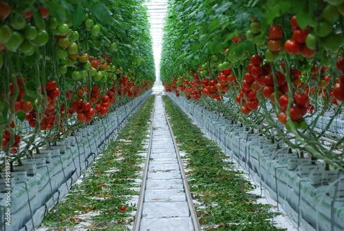 tomaten gew chshaus tomatenzucht tomate bienen. Black Bedroom Furniture Sets. Home Design Ideas