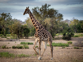 Walking Giraffe in the Savanna, South Africa