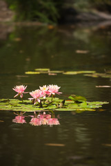 Beautiful Pink Lotus Flowers In Lily Pond