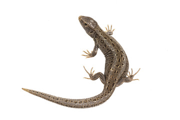 Lizard (Lacerta agilis) isolated on a white background