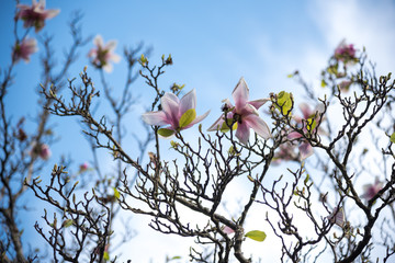 Spring Blossoms on tree