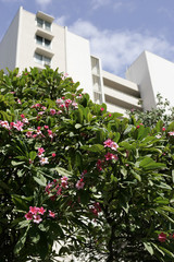 Pink plumeria flowers blossom in front of the building where Democratic presidential nominee Obama's grandmother lived in Honolulu
