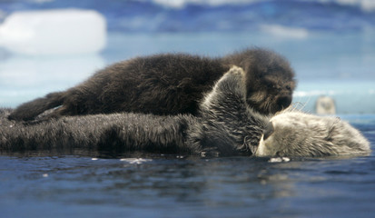 A baby Russian sea otter is carried by its mother on the surface of a fish tank during a press preview at the Sunshine International Aquarium in Tokyo