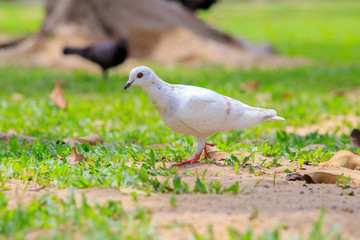 Beautiful white pigeon is walking on the green grass or sand ground.