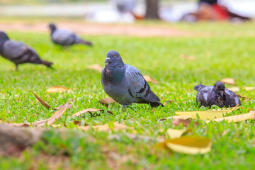 Beautiful pigeon is walking on the green grass or sand ground.