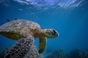 A big sea turtle in blue ocean in natural habitat. Underwater animals wildlife scenery. Pacific ocean fauna.