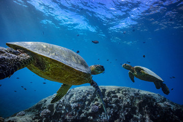 Two turtles underwater in blue ocean. Water background with sunbeams and fish