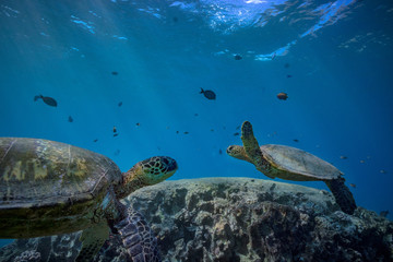 Underwater world with animals discovered. Two sea turtles floating over coral reef on blue background