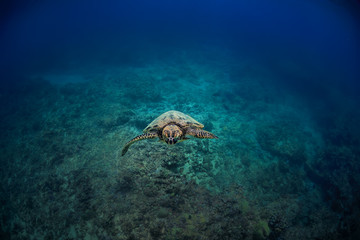 Sea turtle floating into a camera at the center of image with blue underwater ocean background