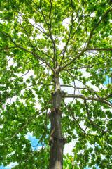 Malabar tree with green leaf.
