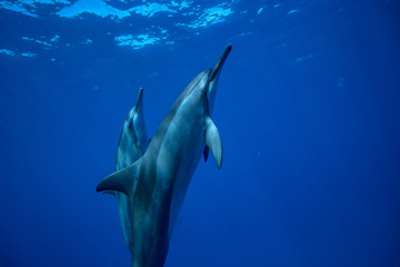 Two dolphins swimming up to the water surface to take a breath. Underwater wildlife scene with aquatic animals