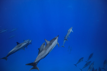 A pod of dolphins underwater traveling into the blue