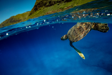Sea turtle in blue ocean under water line close to a surface
