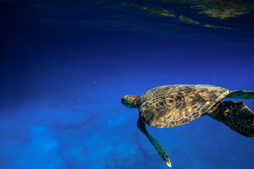 Sea turtle swimming close to water surface. Wild ocean life. Tropical background