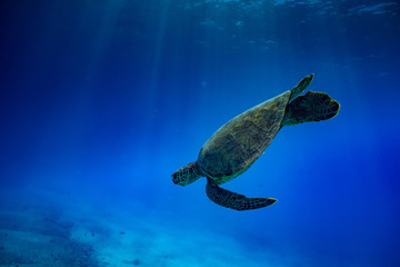 Sea turtle diving down. Tropical blue ocean water deep environment wildlife backfround.