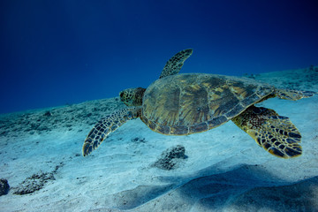 Turtle swimming over sand on the bottom in blue ocean water