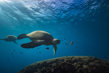 Turtles underwater
