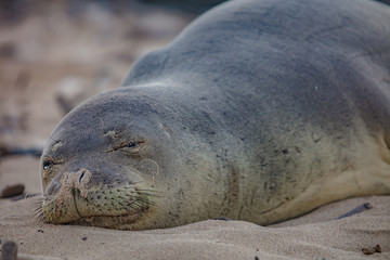 Monk seal slipping on sand
