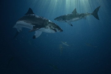 Sharks in the ocean underwater background