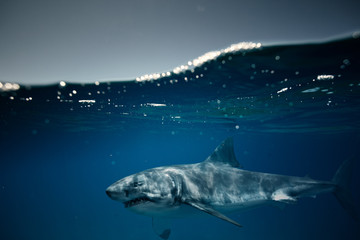 Wall Mural - Great White Shark