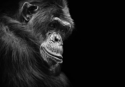 Black and white animal portrait of a chimpanzee with a contemplative stare